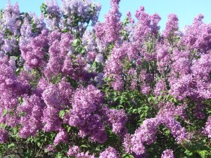 sea of lilacs